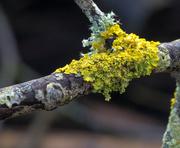 28th Jan 2021 - lichen