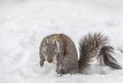 22nd Jan 2021 - Do you think I can make a snow squirrel?