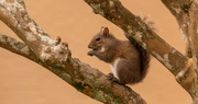 5th Feb 2021 - Squirrel in the Crepe Myrtle!