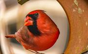 5th Feb 2021 - Fisheye Cardinal!