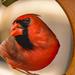 Fisheye Cardinal! by rickster549
