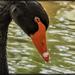 Black Swans  by ludwigsdiana