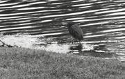 6th Feb 2021 - Heron Happiness