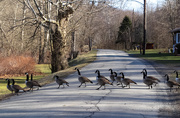 6th Feb 2021 - Geese crossing the road