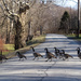 Geese crossing the road by mittens