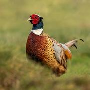 6th Feb 2021 - Male Pheasant