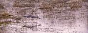 6th Feb 2021 - Heron Rising