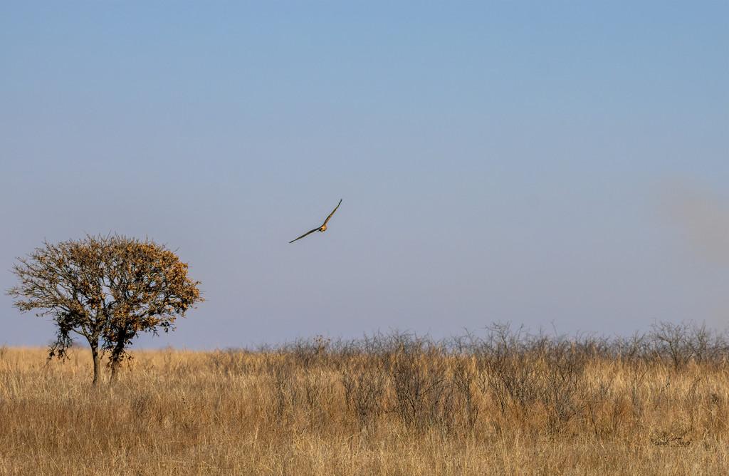 Soaring Hawk #2 by samae