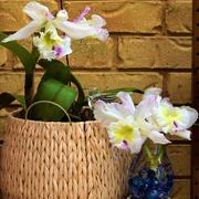 7th Feb 2021 - Cattleya Orchids ~