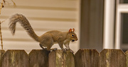 6th Feb 2021 - Long Tail Squirrel Out the Back Window!