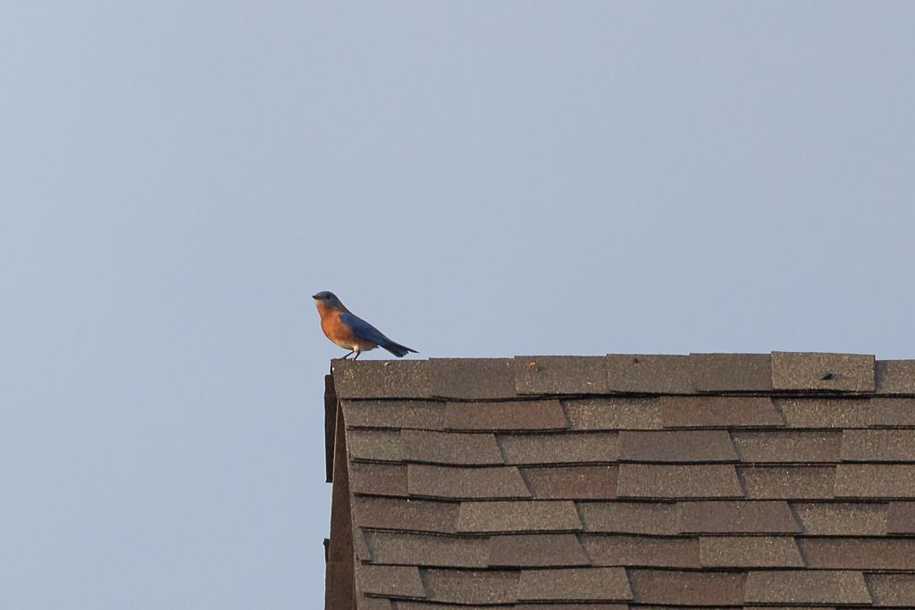 Bluebird on a Roof by jnorthington