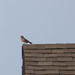 Bluebird on a Roof