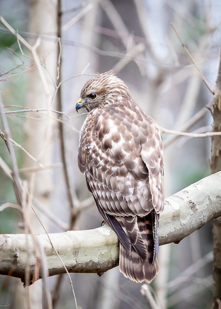Hawk  by jnorthington