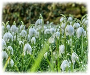 7th Feb 2021 - Dewdrops And Snowdrops