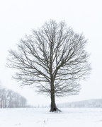 7th Feb 2021 - The Tree in snow