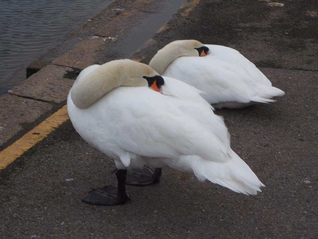swans by josiegilbert