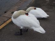 28th Jan 2021 - swans