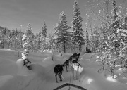 7th Feb 2021 - Flash of red 7 Dog sled ride