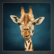 7th Feb 2021 - Giraffe Portrait