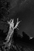 7th Feb 2021 - Bristlecone Pine Reaches for the Stars B and W