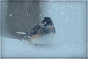 7th Feb 2021 - Snowbird