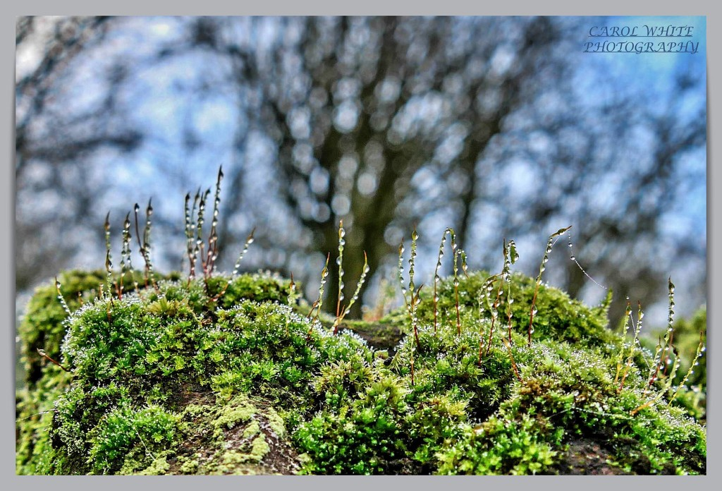 Dewy Moss by carolmw