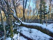 31st Jan 2021 - 31st Jan Fallen Tree