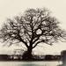 Oak Tree  by tinley23