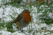 8th Feb 2021 - Robin in the snow