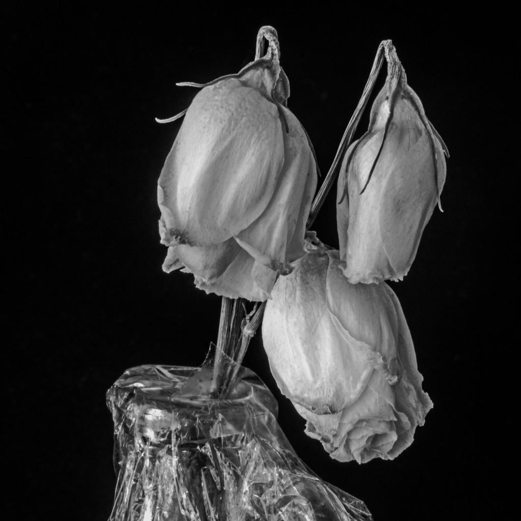 Old Roses by farmreporter
