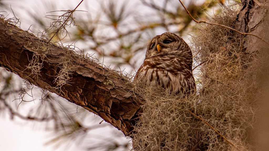 Barred Owl Keeping a Watchful Eye! by rickster549
