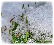 9th Feb 2021 - Peeking Through The Snow