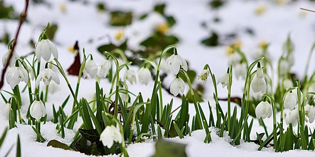 Snowdrops  in Snow by carole_sandford