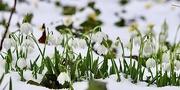 9th Feb 2021 - Snowdrops  in Snow