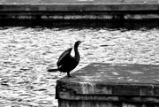 8th Feb 2021 - Cormorant