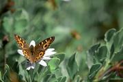10th Feb 2021 - Butterfly (1)