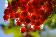 10th Feb 2021 - Berries after rain
