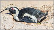 10th Feb 2021 - African Penguin