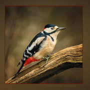 10th Feb 2021 - Greater Spotted Woodpecker