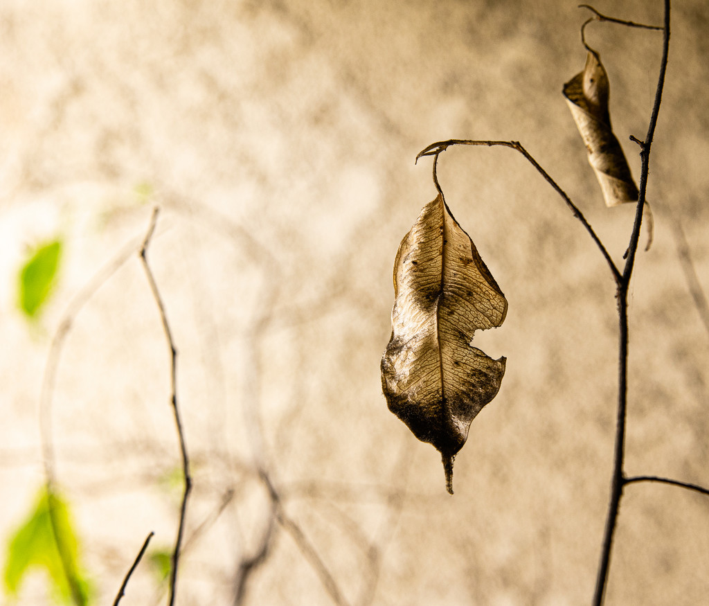 (Day 362) - Leaf of the Decade by cjphoto