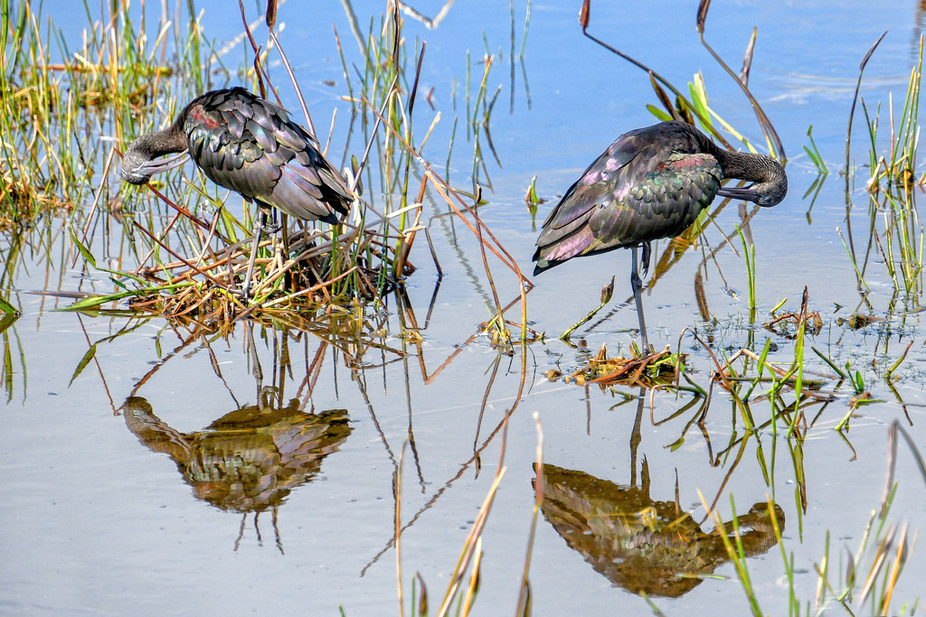 Glossy Ibis poses by danette