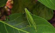 11th Feb 2021 -   Katydid In My Native Gardenia Tree ~