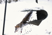 10th Feb 2021 - Flying Squirrel