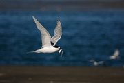11th Feb 2021 - White fronted tern with a fish