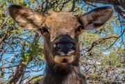 6th Jan 2021 - A Mule Deer in Grand Canyon