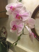 10th Feb 2021 - Dad's orchid continues to bloom