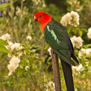 10th Feb 2021 - Another view of the male King Parrot.
