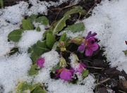 11th Feb 2021 - Flowers in the Snow