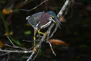11th Feb 2021 - Green Heron trying to hide