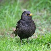 12th Feb 2021 - Blackbird